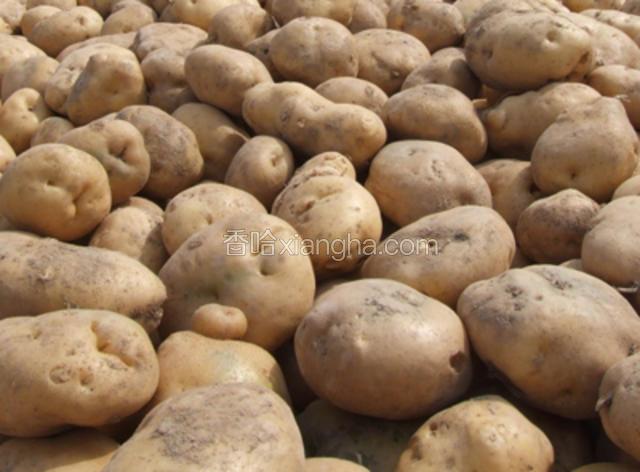 凉山马铃薯