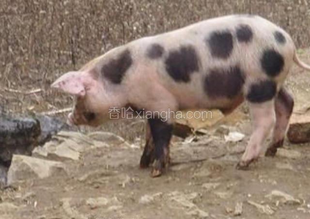宗地六花猪