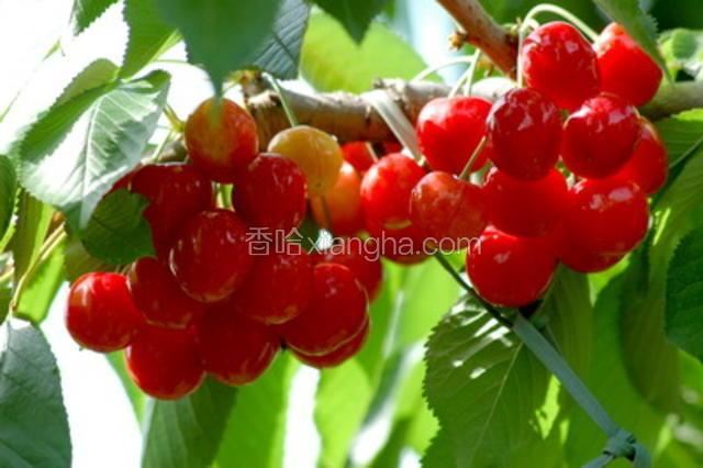 铜川大樱桃