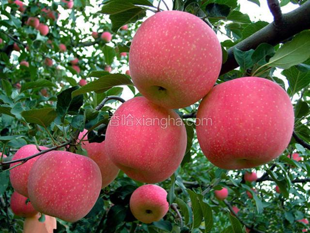 耀州红富士苹果