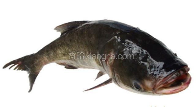 金塔大头鱼