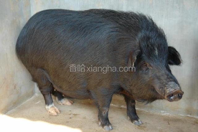 高黎贡山猪