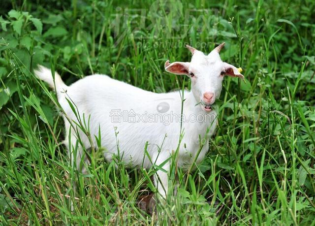 萧县白山羊
